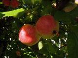The apples of Lahamea National Park