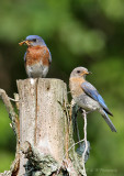 Bluebird pair pb.jpg