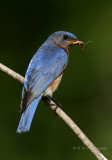 Male Eastern Bluebird pb.jpg
