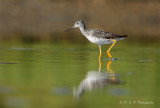 Greater Yellowlegs 3 pb.jpg