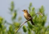 Saltmarsh Sharp-tailed Sparrow pb.jpg