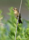 Saltmarsh Sharp-tailed Sparrow 2 pb.jpg