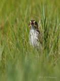 Saltmarsh Sharp-tailed Sparrow 3 pb.jpg