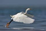 Snowy Egret pb.jpg