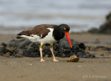 Oyster Catcher with horseshoe crab pb.jpg