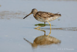Short- billed dowitcher pb.jpg