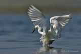 Snowy Egret 2 pb.jpg