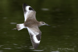 Willet in flight pb.jpg