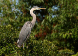Great Blue Heron pb.jpg