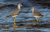 Greater Yellowlegs pb.jpg