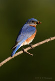 Bluebird with meal worms pb.jpg