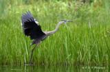 Great Blue Heron pb.jpg