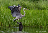 GBH landing on a stump pb.jpg