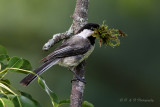 Chickadee with nesting material 2 pb.jpg