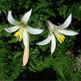 Mount Hood Wildflowers