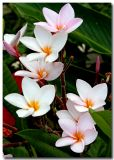 Flowers and Blossoms of Nicaragua