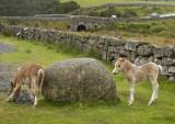 Dartmoor foals