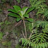 Cyrtandra Hawaiensis