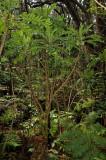 Cyanea Shipmanii