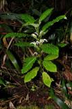 Cyanea Platyphylla