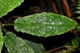 'Aku Leaf