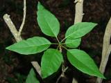 N. Breviflorum