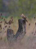 Busard pâle - Pallid Harrier