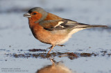 Pinsons des arbres - Common Chaffinch