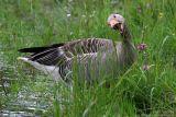 Oie cendrée - Greylag Goose