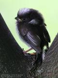 Mésange à longue queue - Long-tailed Tit