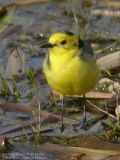 Bergeronnette citrine - Citrine Wagtail