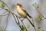 Pie-grièche à tête rousse - Woodchat Shrike