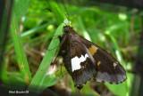 Hespérie à taches argentées - Epargyreus clarus