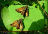 Hespérie hobomok - Poanes hobomok