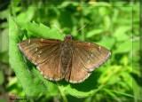 Hespérie nuageuse - Thoribes pylades
