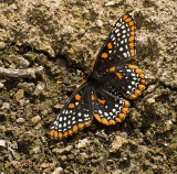 Open-Winged Baltimore Checkerspot
