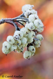 Frosted Dogwood Berries