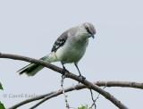 Curious Mockingbird