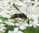 Catskill potter wasp (Ancistrocerus catskill)