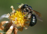 Sweat bee (Halictid sp.)