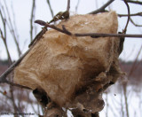 Cecropia moth (Hylalophora cecropia) pupal case