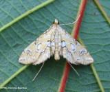 Pondside pyralid moth (Elophila icciusalis), #4748