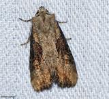 Double lobed Moth (Lateroligia ophiogramma), #9385.1