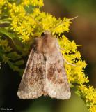 Bronzed cutworm moth (Nephelodes minians), #10524