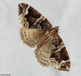 Small phoenix moth (Ecliptopera silaceata albolineata), #7213