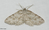 The Small Engrailed moth (Ectropis crepuscularia), #6597
