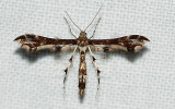 Plume Moths (Family: Pterophoridae)  6092 to 6234