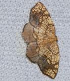 Horned spanworm (Nematocampa resistaria), #7010