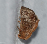 Slug Caterpillar Moths (Family: Limacodidae) 4665 to 4681