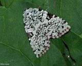 Green Leuconycta (Leuconycta diphteroides), #9065